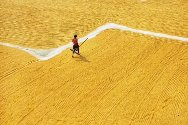 秋收晒黄色稻谷高清图