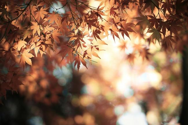 唯美秋天枫叶图片素材