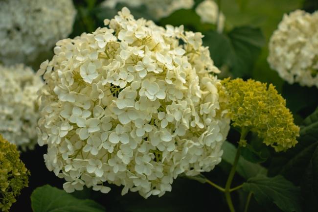 米色绣球花图片