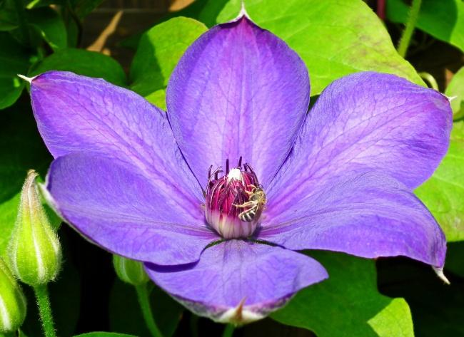 铁线莲紫色花朵精美图片