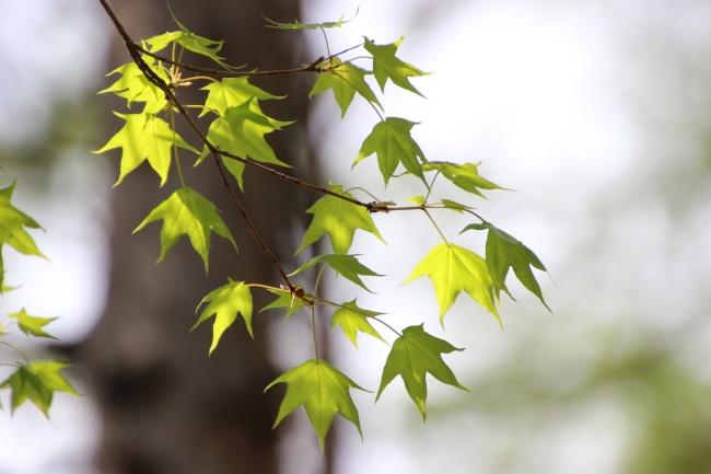 绿色枫树叶桌面壁纸图片