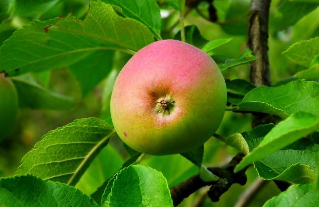 果树一个青苹果精美图片