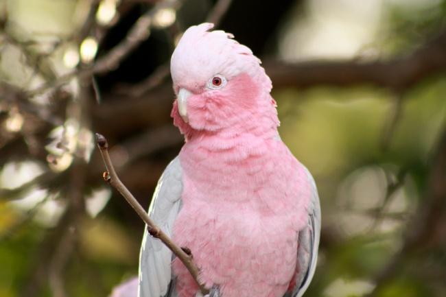 粉色鹦鹉图片