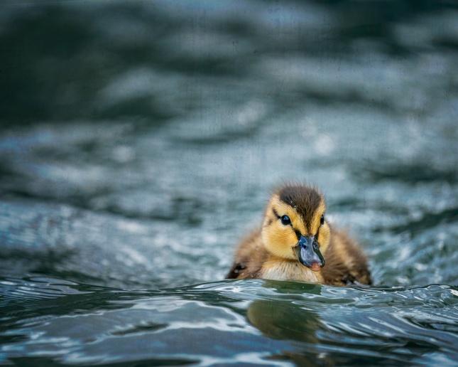 毛绒小鸭乘风破浪精美图片