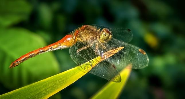 蜻蜓栖息高清图片