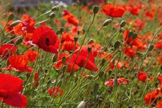 红色鲜艳罂粟花高清图