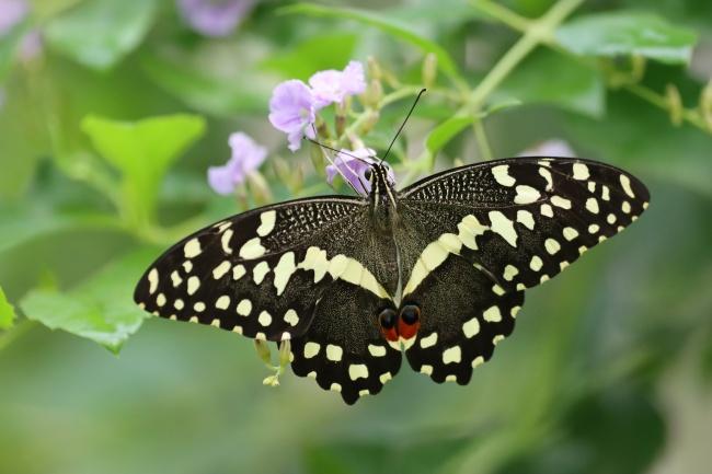 燕尾蝴蝶休憩图片下载