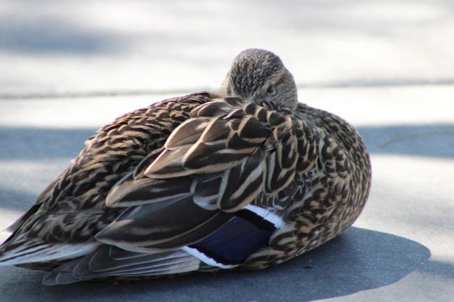 家养麻鸭休息图片下载