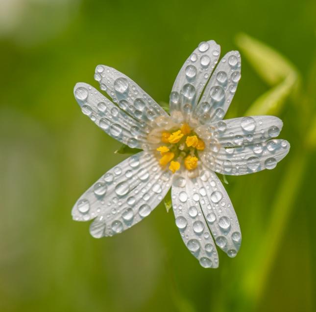 白色花朵露珠高清图片